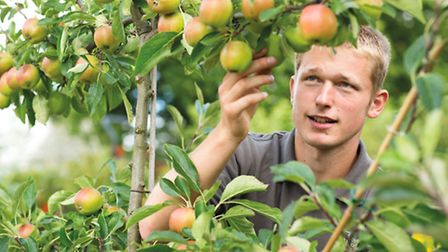 Joe Lofthouse at RHS Harlow Carr, Harrogate inspects Red Falstaff apples in the kitchen garden