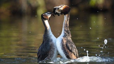 The weed dance is the February highlight of the great crested grebe calendar, and one of natures mos