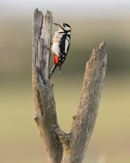 The male great spotted woodpecker given away by his red head spot needs a perfectly resonant tree