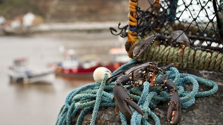 Live lobsters just caught off Staithes
