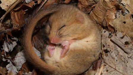 A snoozing hazel dormouse