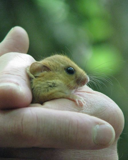 A hazel dormouse has a look at its new home