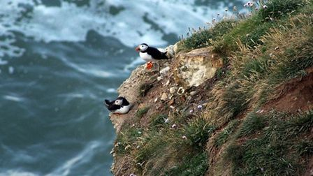 Puffins on Flamborough Clifftops by Julie Taylor