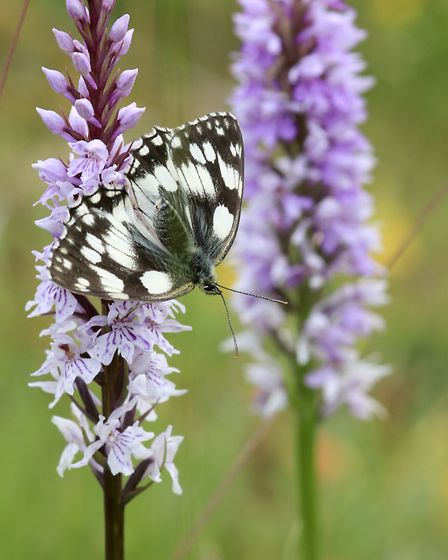 Marbled white butterfly at Brockadale