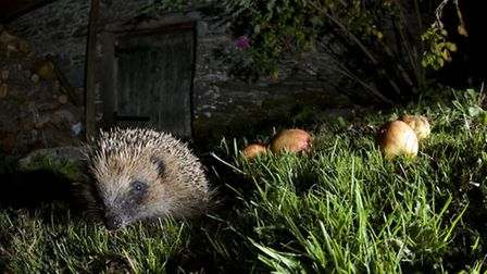 Hedgehog and apples. Photo: Richard Bowler