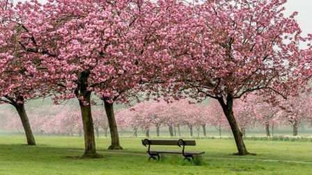 Blossom trees, The Stray, Harrogate by Philip Doncaster