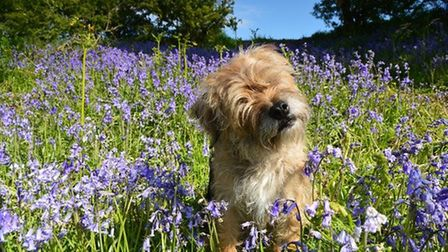 Crumble the dog in sunny bluebells by Sandie Nicholson