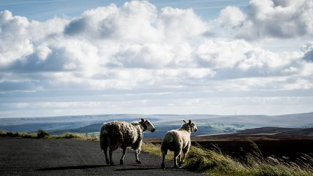 Sheep on Ovenden Moor by Michael Green