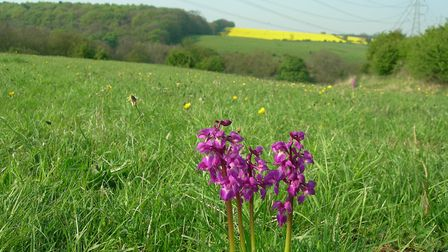 Brockadale early purple orchids (c) Karen McDiarmid