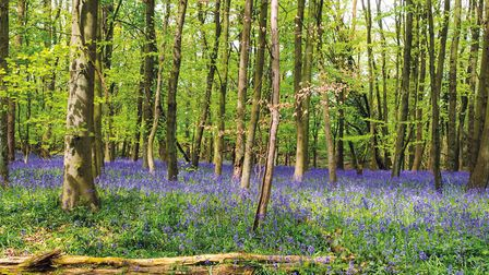 Bluebell woods (c) Chris Maguire