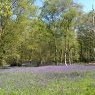 Bluebells at North Cliffe Wood (c) Bex Lynam