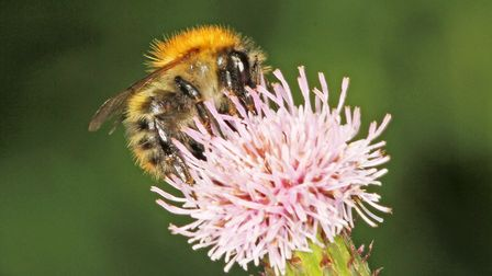 A common carder bee. Pic by Jeremy Early, the Chairman of the BWARS (the Bees, Wasps and Ants Record