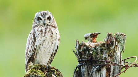 Short-eared Owl (Asio flammeus), adult, perched on moss-covered fence post (c) Elliott Neep