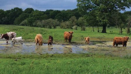 Cattle at Carr Lodge