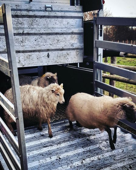 Sheep set off to work at Carr Lodge