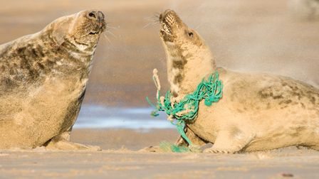 Grey seal caught in plastic waste