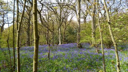 Bluebells in Middleton Woods, Ilkley by Terry Fletcher