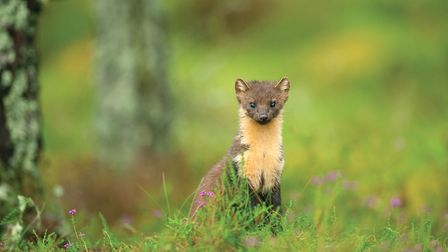 A curious pine marten peers out. Picture by Terry Whittaker
