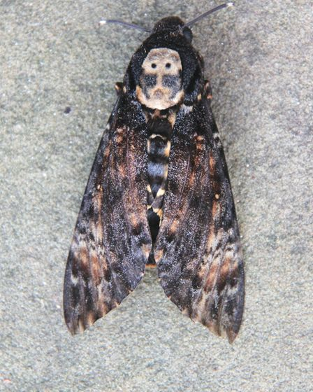 A close up of a deaths head hawkmoth. Picture by Yorkshire Wildlife Trust.