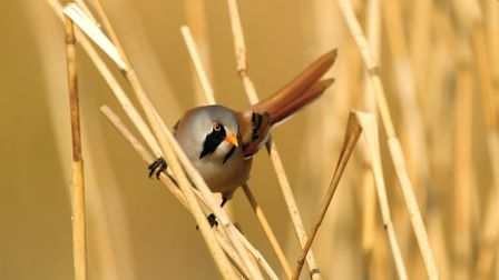 A bearded tit is difficult to spot amongst the reedbeds. Picture by Danny Green