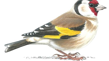 Goldfinch by Mike Langman