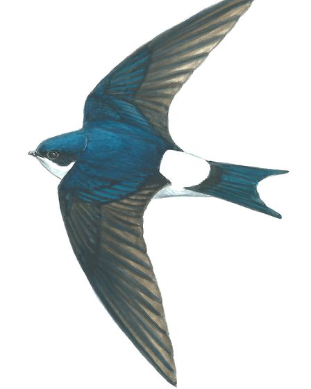 House Martin by Mike Langman