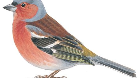 Chaffinch by Mike Langman