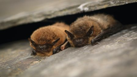 Pipistrelle bats captured by Tom Marshall
