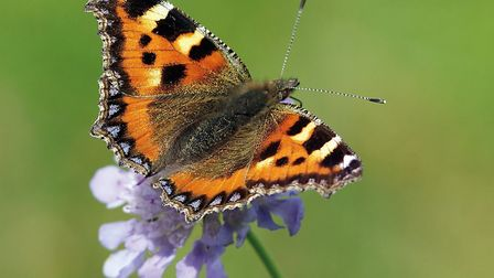 A small tortoiseshell butterfly perches on the end of a delicate flower. Picture by Richard Willison.