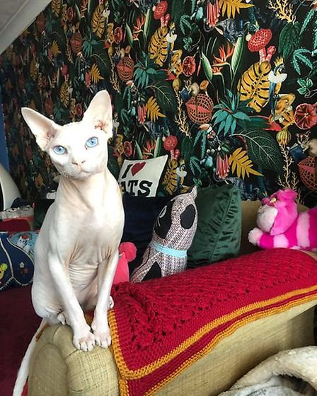 Maverick, a Sphinx, at Darling Darlings cat cafe on Howard Street South in Great Yarmouth. Picture: