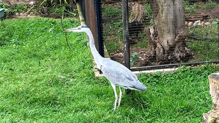 A heron who lives at Wild Touch in Ridlington, north Norfol. Picture: Stuart Anderson