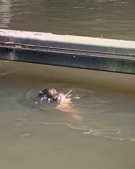 Seal grappling with fish caught in the River Wensum in the centre of Norwich. Picture: Donna Wood