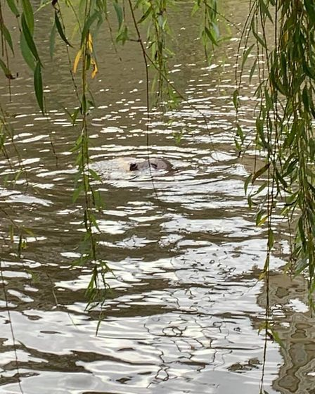 Seal in the River Wensum near Carrow Bridge in Norwich. Picture: Donna Wood