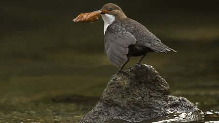 A dipper with nesting material rests on a stone in the River Wye