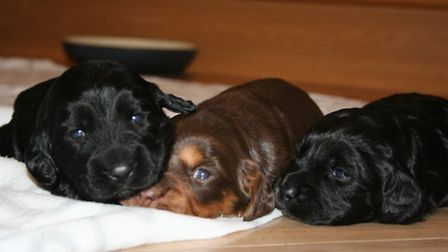 Three little boys out of a recent litter of cocker spaniels