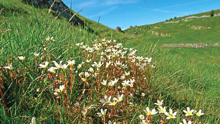 Mossy saxifrage, Upper Cressbrook Dale Photo: Peter Smith