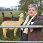 Emma Taylor of Alpacas of East Anglia, with some of her alpacas, angry that a chicken farm has been