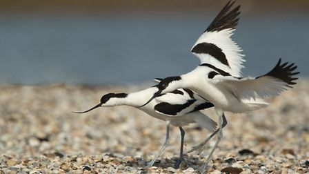 An example of avocet aggression