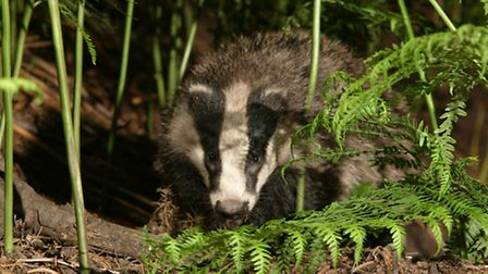 Badgers are likely residents of overgrown allotments