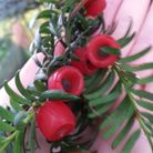 Yew berries from the Chatsworth estate