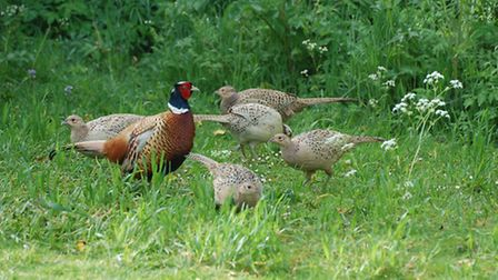 Cock pheasant with five hens Photo: Peter Thompson, Game & Wildlife Conservation Trust