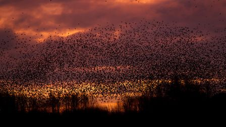 Starlings greet the day