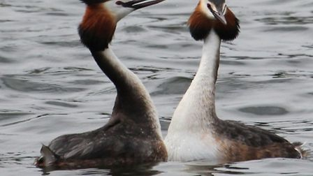 Great Crested Grebes at Staunton Harold Reservoir Photo: Scott Jarvis