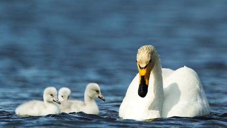 Whooper swan and cygnets
