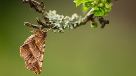 Early thorn adult, at rest on hawthorn