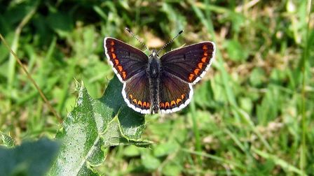 Brown Argus, Miller's Dale Quarry Photo: Charles Palmer