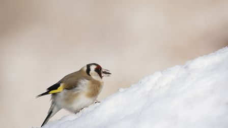 A goldfinch in the snow Photo: Paul Hobson