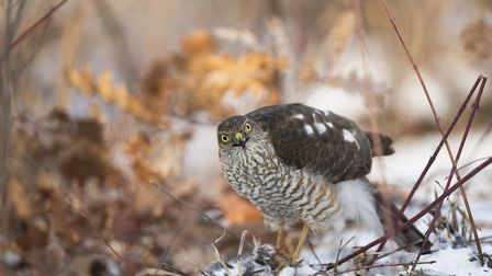 A female sparrowhawk at a goldfinch kill in woodland Photo: Paul Hobson