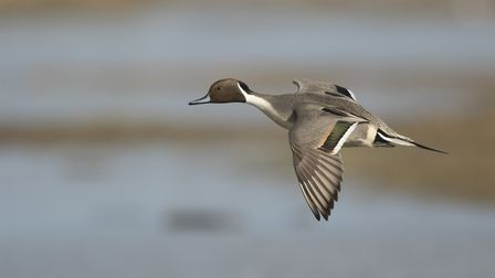 A male pintail duck in flight Photo: Paul Hobson