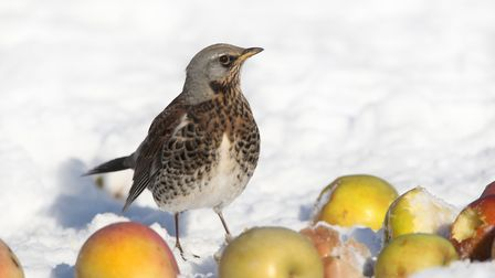 Fieldfare in the snow with fallen apples